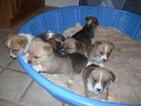 I have 2 male Corgi puppies for sale. They are 6 weeks