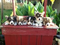 I am a breeder of Corgi puppies only. I raise both tri