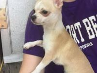 Cream male chihuahua. Comes with full AKC rights. He's