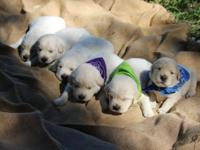 I have 3 females and 3 males available. Puppies will be