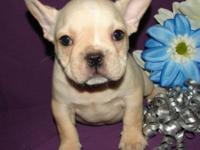 BEAUTIFUL MALE CREAM FRENCHIE HE IS THE MOST PLAYFUL IN