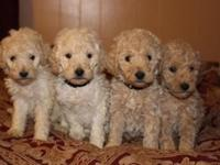 We have AKC registered small conventional poodles