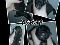 Teddy will be available, he is a handsome sable color