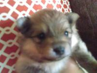 Gorgeous female, akc cream sable female pomeranian