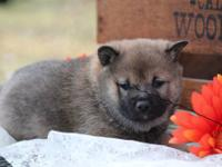 i have 5 akc shiba inu puppies! they will be all set