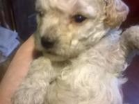 AKC TINY toy poodle cream male. Born 12/13/14 ready