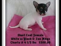 Precious, playful and healthy AKC Chihuahua Puppies,