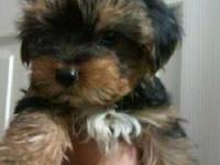 AKC cute baby doll face tiny male Yorkie puppy