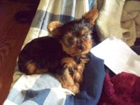 I have a really cute male yorkie born 2 18 2014 he was