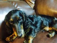 AKC dachshund, UTD in all shots. Excellent with kids