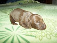 AKC Reg Dachshund Female puppy.$600 A $150 Deposit will