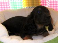 AKC reg. Dachsund. Long Hair Black and Tan Male and