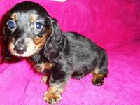 Two handsome AKC longhair dachshund puppies, both black
