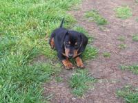 I have 2 black and tan, mini Dachshund puppies for