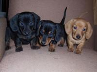 I have a litter of miniature Dachshund puppies. There