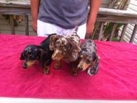 AKC Registered Dachshund Miniature dapple puppies. They
