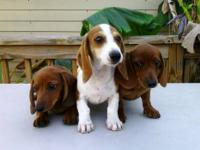 AKC Full registration Dachshund male puppies. They are