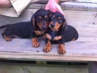 AKC Registered Black and Tan Miniature young puppies.