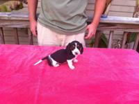 AKC registered Miniature Dachshund Piebald female young