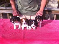 AKC registered Miniature Dachshund Piebald young