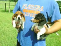 AKC Fully Registered Miniature Dachshund new puppies.