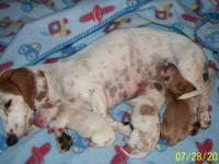 AKC Full Registration Miniature Dachshund puppies. They