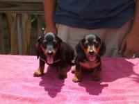 AKC Registered Miniature Dachshund. 2 Black and tan