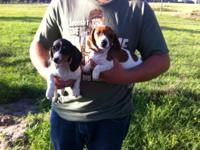 AKC Completely Registered Baby Dachshund new puppies.