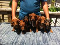 AKC Dachshund baby new puppies. They have Full AKC