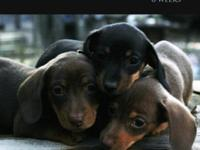 AKC MINI DACHSHUNDS. 3 Available. Lil'Bit LARRY & HANK