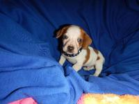 AKC-REG very rare BRIGHT BLUE EYES AND BROWN EYES mini