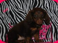 AKC registered dachshund babies with champion