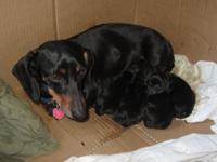 AKC Puppies birthed 4-10-14. 2 Female and 2 male mini