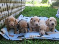 AKC registered Dachshund puppies will be prepared for