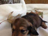 Very Tiny adorable Shaded Red male dachshund puppy 7