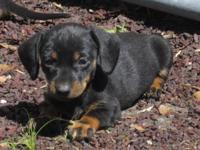 AKC New puppy born 4-10-14. 1 male miniature dachshund
