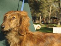 AKC registered Longcoat Mini Dachshunds, 2-Reds and 1