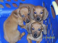 AKC REG DACHSHUND PUPPY's I HAVE 2 FEMALE & 1 MALE