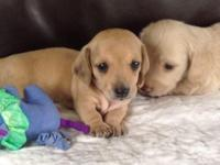Two Miniature Dachshund puppies! One long haired cream