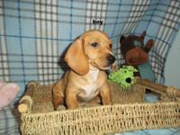 akc Dachshunds.only 2 males and 2 females left out of