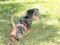 AKC Dachshunds 15 weeks old dapple longhaired male Vet