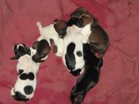 AKC Dachshunds, 3 males, 2 red/white smooth coat
