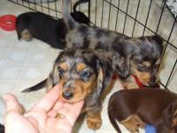 Longhair male miniature dachshunds available. Born