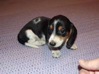 Have 3 male AKC dachshund young puppies. One is