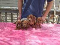 AKC full registration. They are red puppies. 9 weeks