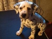 AKC Dalmatian puppies - 6 boys and 4 girls - all black