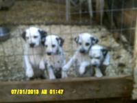 AKC Dalmatian puppies 4 females and 1 male, vaccinated