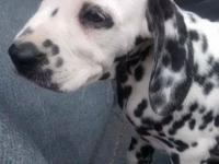 12 week old dalmatian young puppy. Born April 22nd.