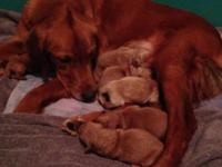 Our Golden Retriever, Bella, had a litter of 6 young