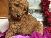 Akc limited dark red baby girl, full akc available